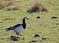 Vitkindad Gås Barnacle Goose (13641930905).jpg