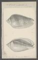 Voluta undulata - - Print - Iconographia Zoologica - Special Collections University of Amsterdam - UBAINV0274 087 04 0032.tif