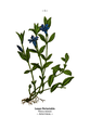 WWB-0021-005-Vinca minor.png