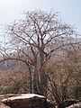 Wadi Hinna baobab tree.jpg