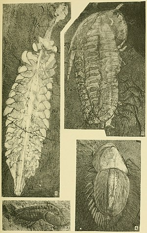 Opabinia - Top left: retouched image of Opabinia (Walcott Cambrian Geology and Paleontology II by Charles Doolittle Walcott)