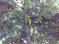 Walnut tree 009.jpg