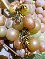 Wasps attracted to ripening grapes.jpg