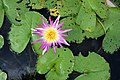 Water Lily Flower of Thailand.jpg