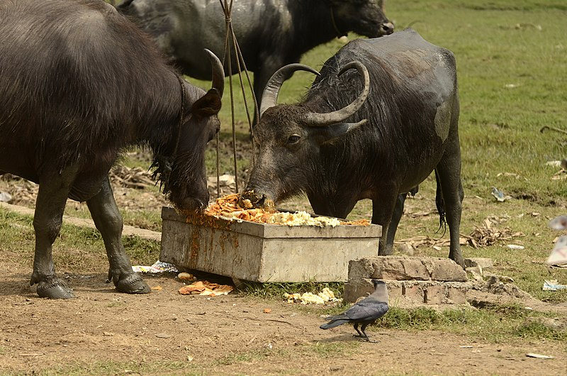File:Water buffalo and house crow at food waste JEG7724.jpg