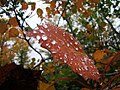 Water droplets on an autumn leaf.jpg