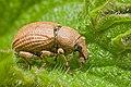Weevil (probably Polydrusus mollis).jpg