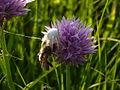 Weiße Krabbenspinne tötet Biene.JPG