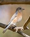 Western Bluebird (f) (39350322804).jpg