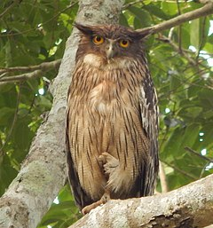 Western Ghat Brown fishing owl.jpg