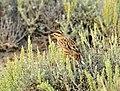 Western Meadowlark on Seedskadee NWR (16255953141).jpg