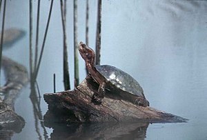 Arroyo Conejo - The Western pond turtle is an endemic species to Arroyo Conejo.