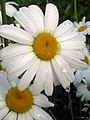 Wet And Dripping Daisies (176375506).jpg
