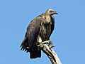 White-backed Vulture juvenile RWD3.jpg