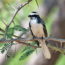 White-browed Fantail (Rhipidura aureola) on Vilaiti Keekar (Prosopis juliflora) at Sindhrot near Vadodara, Gujrat Pix 146.jpg