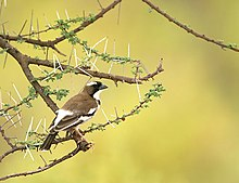 White-browed Sparrow-weaver perched.jpg