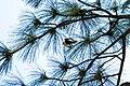 White-headed woodpecker (48113974057).jpg