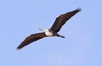 White-necked heron - Image: White necked Heron
