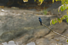 White-throated Blue-Swallow S4E1838 (16953709336).jpg