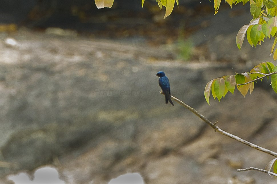 White-throated Blue-Swallow S4E1838 (16953709336)