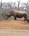 White Rhino (Ceratotherium simum) (32456765856).jpg
