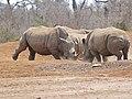 White Rhinos (Ceratotherium simum) confrontation ... (31685360433).jpg