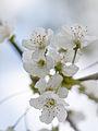 White blossom (9028988470).jpg
