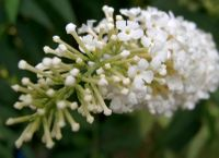White buddleia closeup