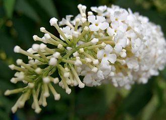 Buddleja - Buddleja davidii (white flowered form)