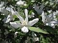 White flowers (5750704042).jpg