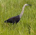 White necked heron2 (8667247419).jpg
