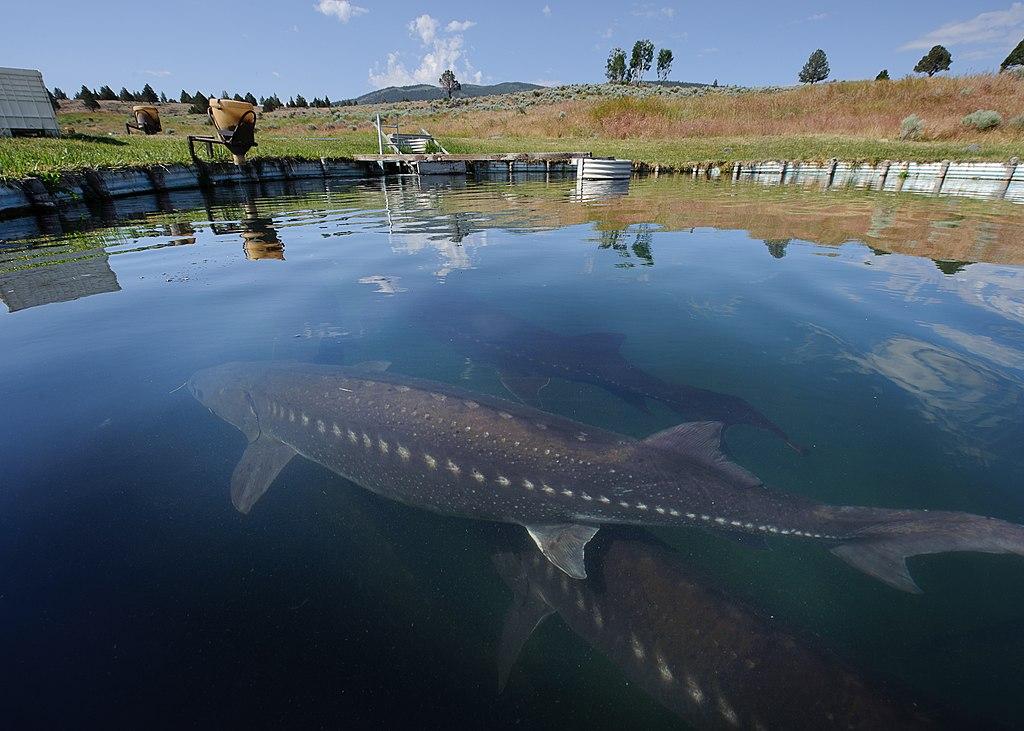 white sturgeon 837 diseases of fish caused by white sturgeon iridovirus (wsiv)  disease in manitoba lake sturgeon (acipenser fulvescens) was designated namao virus.