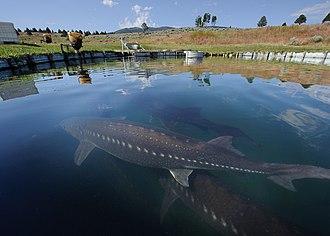 White sturgeon - A white sturgeon farm in California