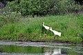 Whooping Crane Family (28557639486).jpg