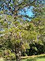 Widdringtonia nodiflora KirstenboshBotGard09292010A.JPG