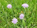 Wiesen-Witwenblume im NSG Regentalaue.jpg