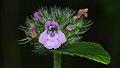 Wild Basil (Clinopodium vulgare) - MacGregor Point Provincial Park 01.jpg