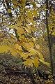 Wild Service Tree in Pound Wood, Benfleet - geograph.org.uk - 1670468.jpg