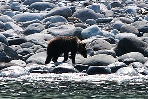 Ussuri brown bear - A bear walks by surf on Shiretoko Peninsula
