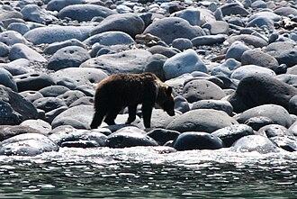 Shiretoko Peninsula - Hokkaido brown bear