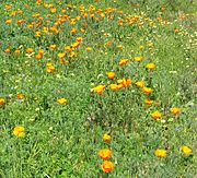 Wildflowers in Berkeley.jpg