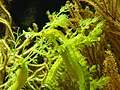 Wilhelma grüne Seepferdchen 2.jpg