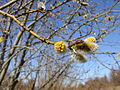 Willow catkin3.jpg