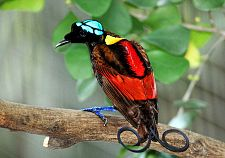Wilson's Bird of Paradise Best.jpg