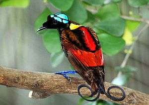 Wilson's bird-of-paradise - Male