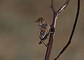 Wing-snapping cisticola, Cisticola ayresii, at Suikerbosrand Nature Reserve, Gauteng, South Africa (22631250102).jpg