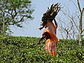 Woman Carrying Firewood - Zareen Tea Estate - Near Srimangal - Sylhet Division - Bangladesh - 01 (12948276633).jpg