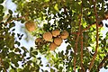 Woodapples.jpg