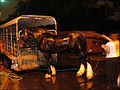 Working horse being hosed down after a nite of pulling (497308186).jpg