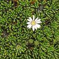 Xenophyllum humile 1.jpg